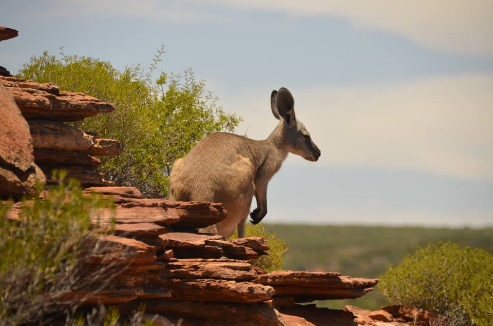 Kangourou à Kalbarri - The Loop Trail