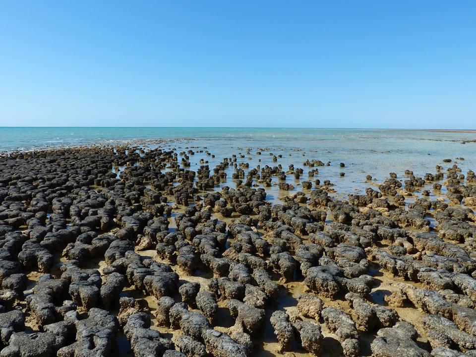 Stromatolithes à Hamelin Pool