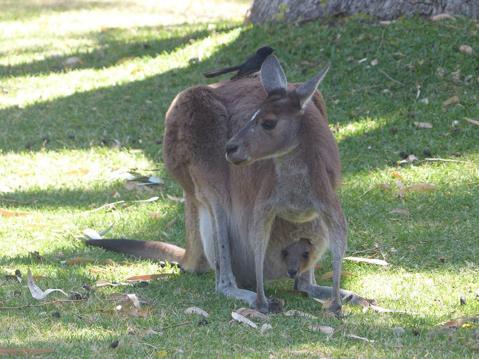 Bébé kangourou dans la poche de sa maman