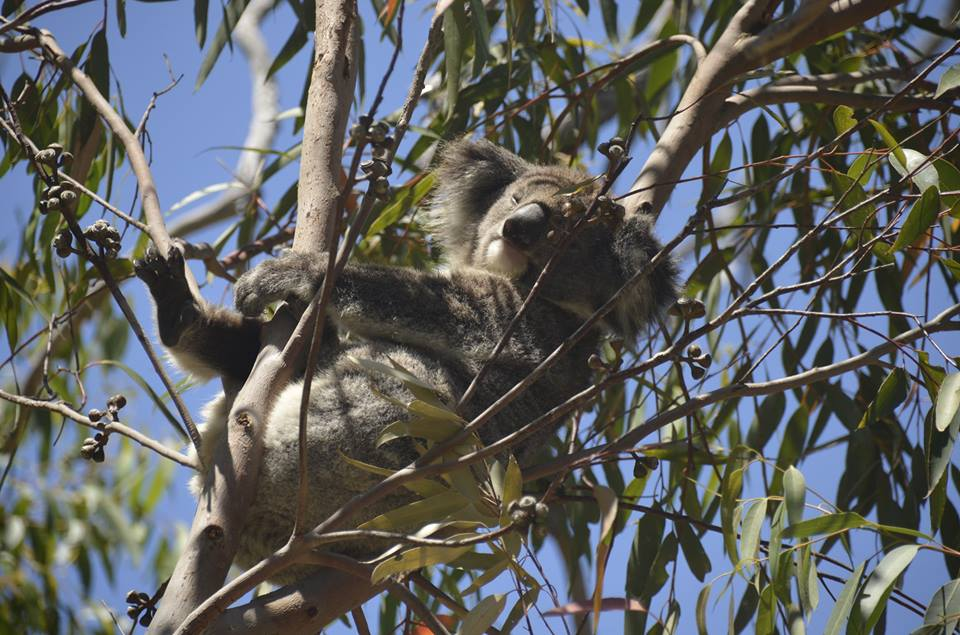 Koala à Yanchep National Park