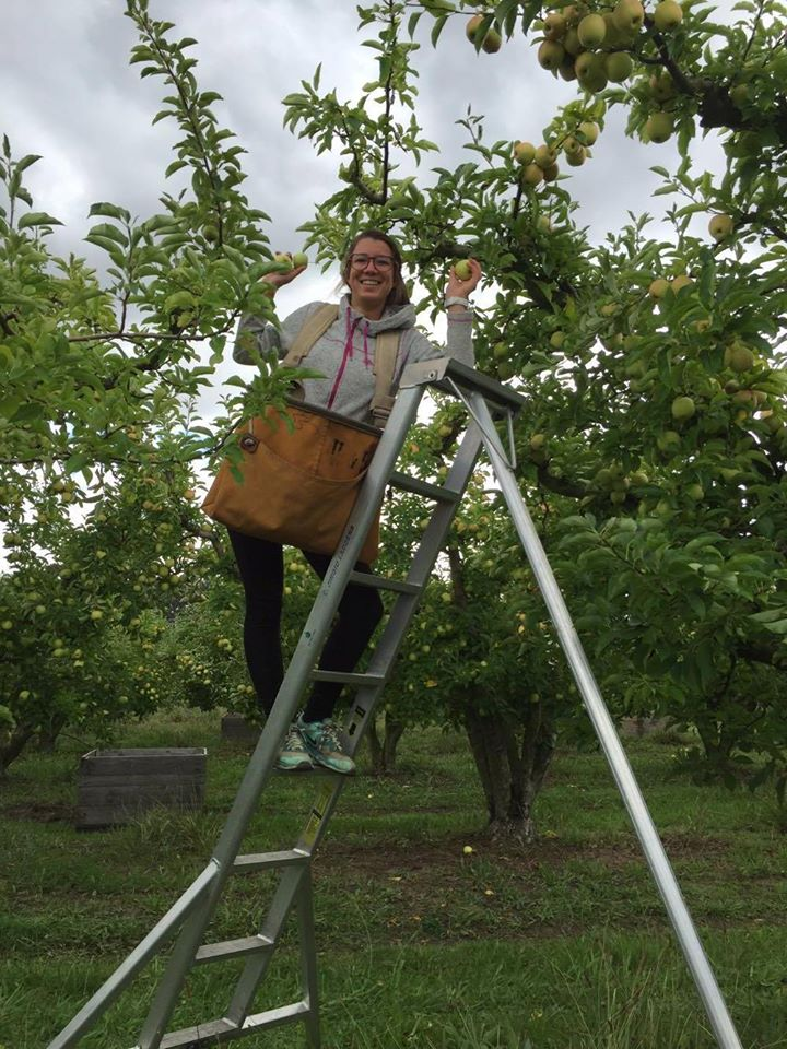 Apple picking, Tasmania