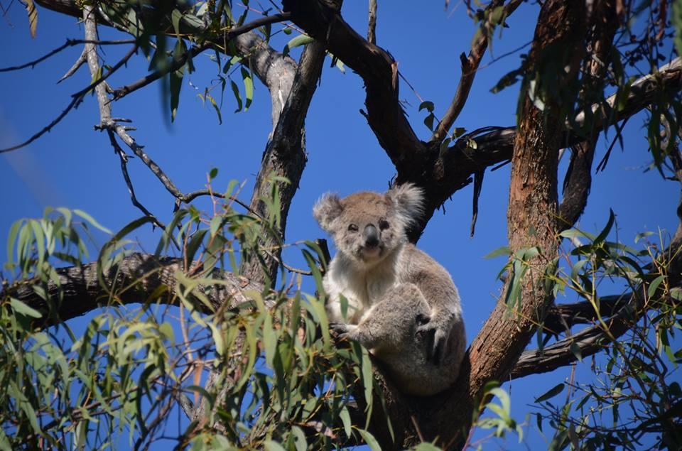 Koala à Raymond Island