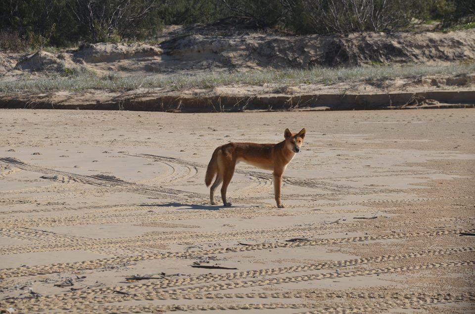 Un dingo, Fraser Island